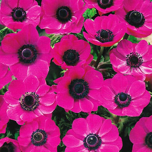 Flowers for cutting and show bulbs to buy today from riverside bulbs anemone de caen pink sylphide autumn flowering bulbs mightylinksfo