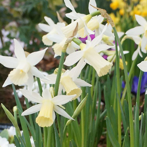 Autumn Flowering Bulbs