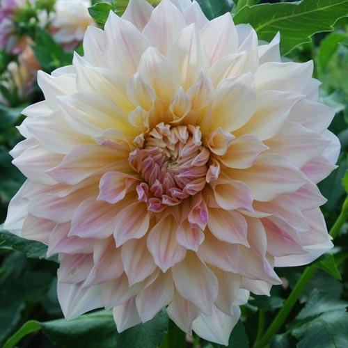 Elegant A Subtle Brown Cream With Peach Tones. Strong Growing. Anglesey Abbey Head  Gardener Richard Todd Nominate Café Au Lait Amongst His Top Five Dahlias