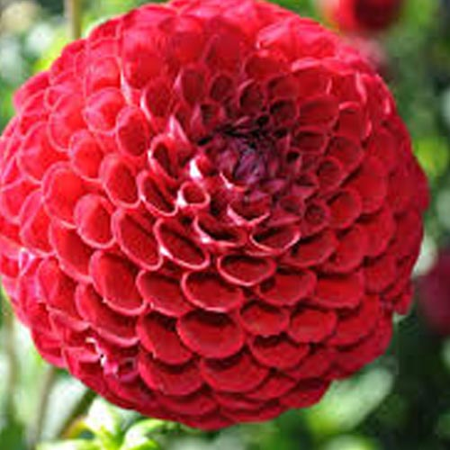Pom Pom And Ball Dahlia Tubers To Buy Today From