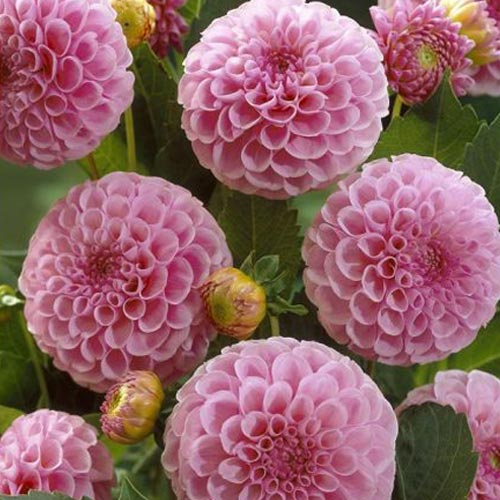 pom pom and ball dahlia tubers to buy today from riverside bulbs. Black Bedroom Furniture Sets. Home Design Ideas