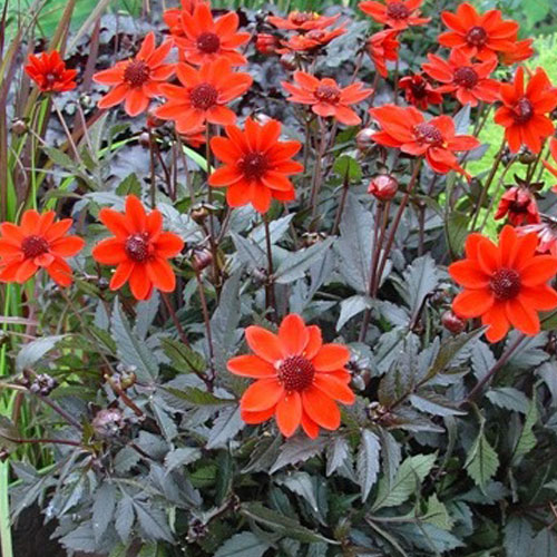 Border Dahlias Gallery Dark Leaf To Buy Today From