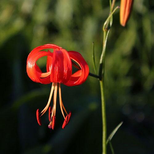 Species Lily Bulbs Turks Cap Martagon Speciosum To Buy