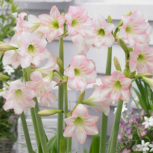 Big bulbs amaryllis cardiocrinum eremurus eucomis to buy today hippeastrum sonatini pink rascal autumn flowering bulbs mightylinksfo Gallery